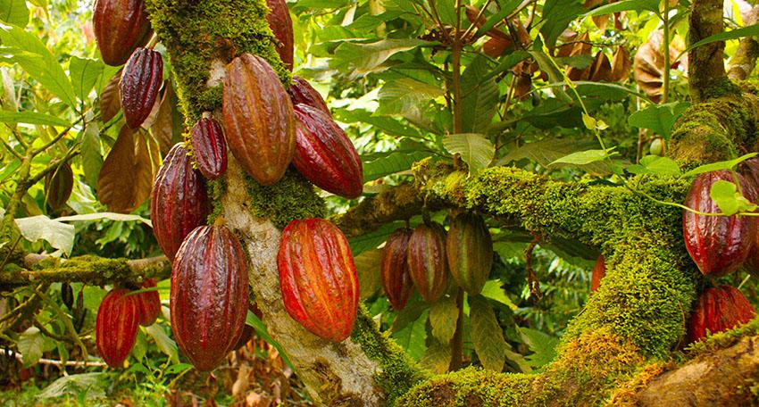 En la presente edición del Salón del Cacao y Chocolate 2020-virtual, participan 30 organizaciones productoras de cacao, informó Devida