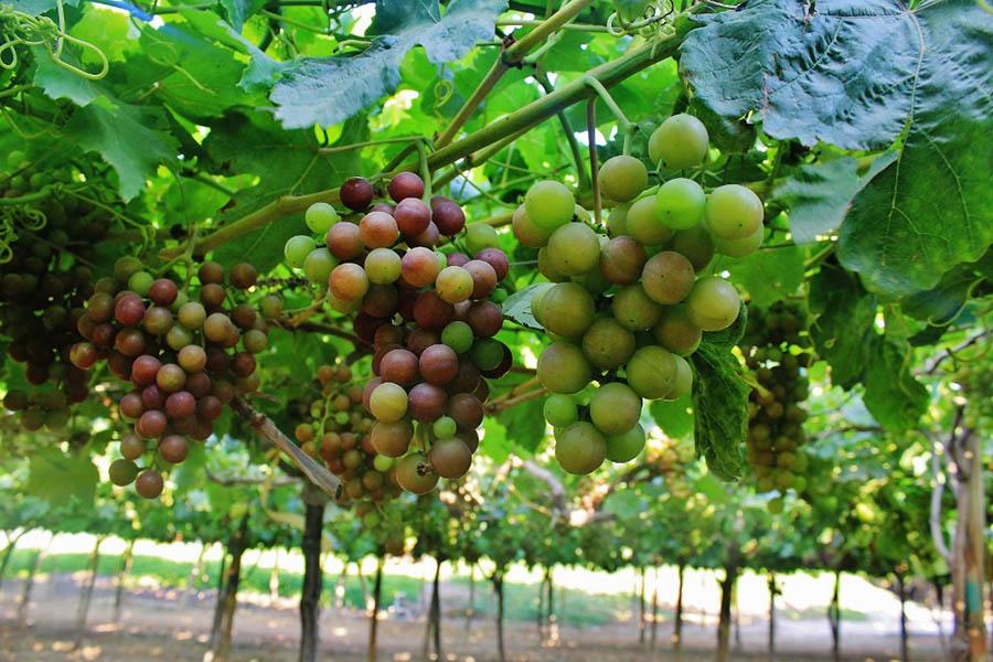 Las exportaciones de uvas peruanas, en un escenario conservador, podrían crecer alrededor de 10% al cierre del 2020, estimó la CCL
