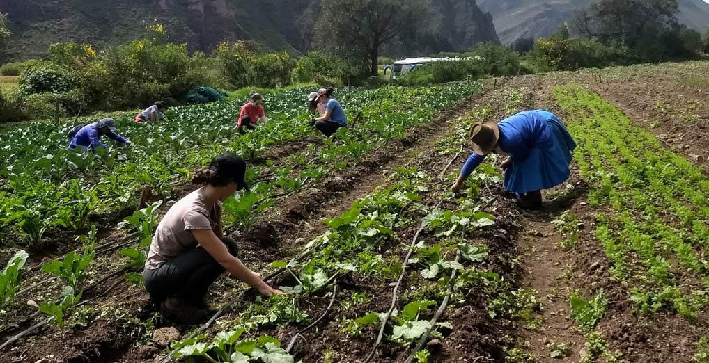 Son elegibles como beneficiarios del FAE Agro, los pequeños productores agrarios que obtengan créditos para capital de trabajo que sean destinados a la Campaña Agrícola 2020-2021.