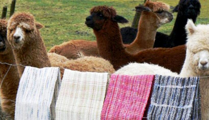 Fibra de alpaca con alta calidad genética de productores de la región Arequipa llegó a los mercados de Corea del Sur, Reino Unido y Alemania,