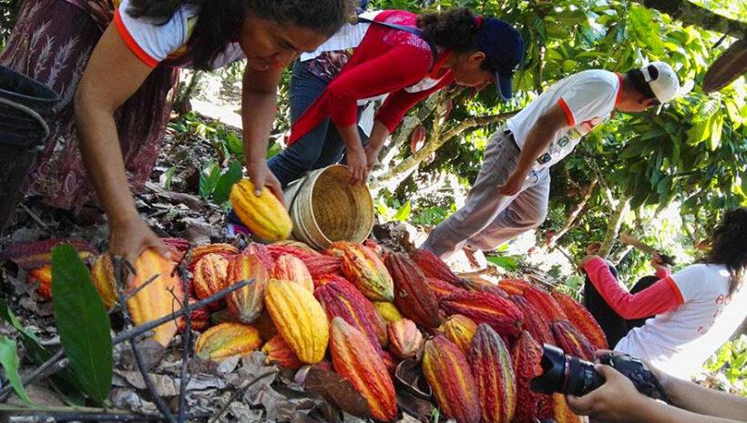 La producción nacional de cacao crecía a un ritmo de 12% o 13% anual, para este año se proyecta que se perderá un 40% de la producción.