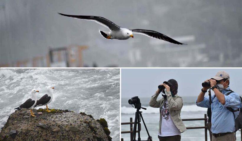 Playa Tres Picos de Miraflores fue el escenario elegido por los observadores de aves marinas para celebrar el Día Mundial de Aves Migratorias