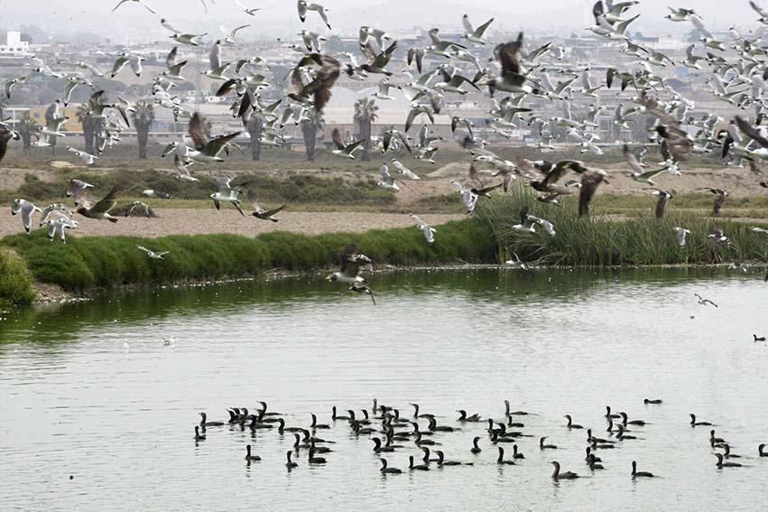 Aves migratorias en los Pantanos de Villa