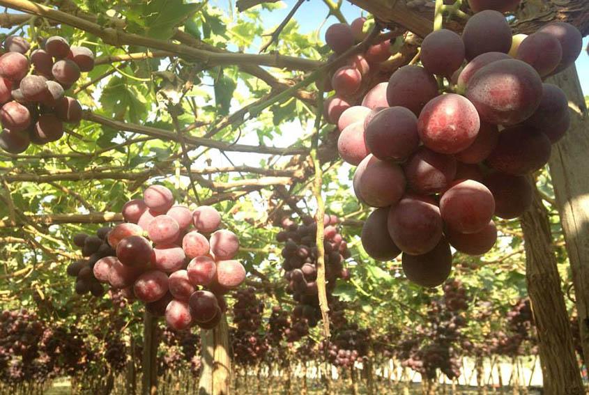 Campaña de uva inició con un crecimiento de 10.96%