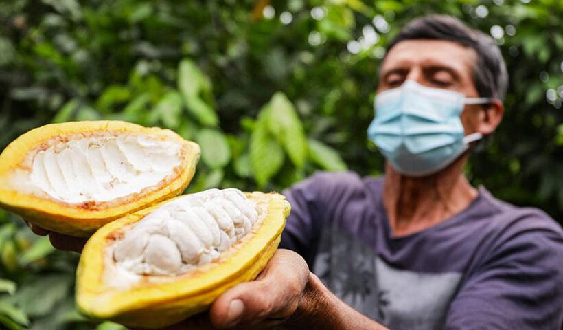Productores piuranos ocupan los primeros lugares en XIV Concurso Nacional de Cacao de Calidad