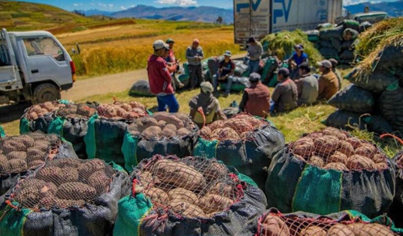 Ayacucho: agricultores de papa aumentaron su producción en 20%