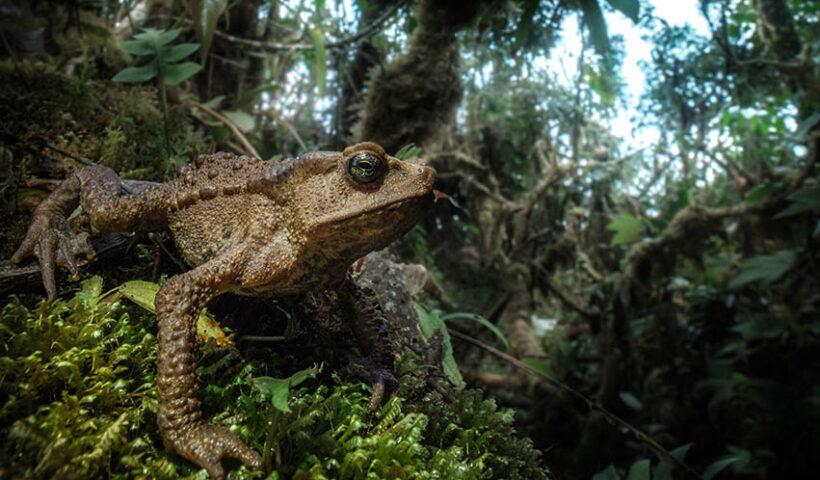 26 nuevas especies de anfibios y reptiles son registradas en el Santuario Nacional Cordillera Colán