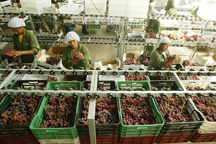 Perú exportó uva por más de US$ 521 millones